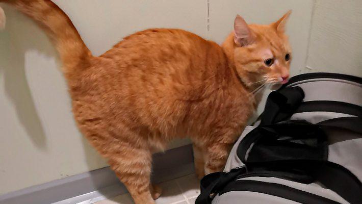 Irrallaan kulkevaa kissaa uhkaavat  liikenne, petoeläimet sekä ihmiset
